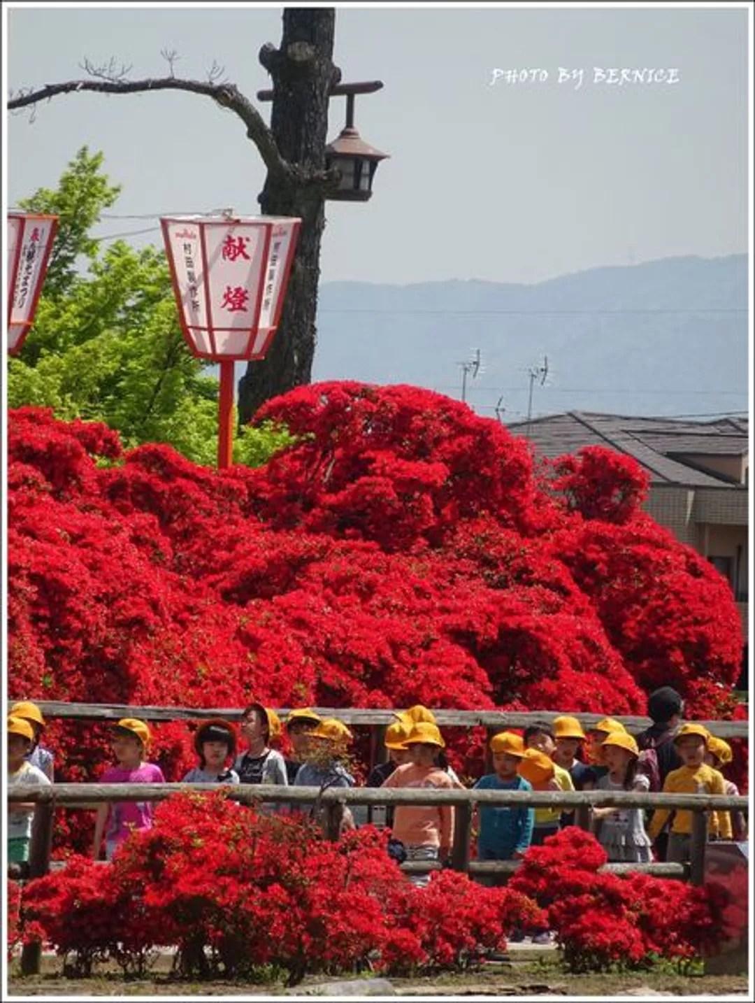 【日本花卉】長岡天滿宮紅通通的杜鵑隧道@bernice (16655) - 旅行酒吧