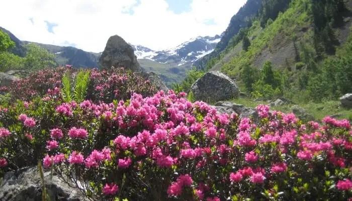 Rhododendron Trek In Sikkim