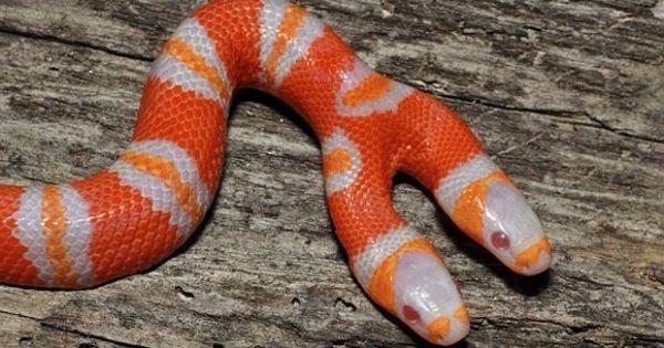 У США завелася двоголова змія-альбінос - Цікaвинки - TCH.ua