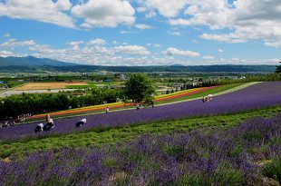 [旅遊] 北海道第二天:富良野花田看薰衣草(富田農場)