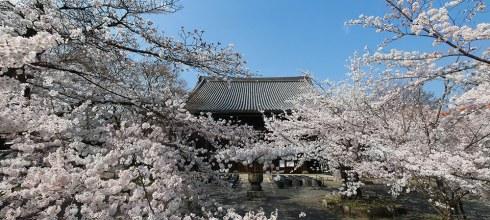 [自助旅行] 京都賞櫻,櫻花秘境立本寺。含京都櫻花花況心得。