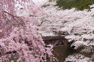 [自助旅行] 京都賞櫻,龜岡市七谷川櫻花,櫻花炸裂,人潮適中