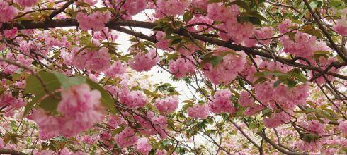 [自助旅行] 大阪自助旅行,大阪造幣局賞櫻。晚開櫻花的首選之地。