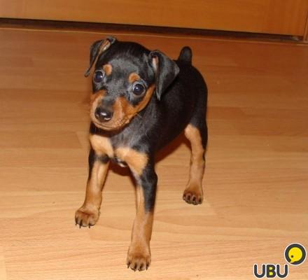 Собаки в Ульяновске купить собаку объявления о продаже