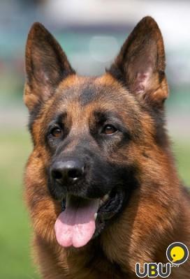 Высокопородный д/ш щенок немецкой овчарки, купить в Москве