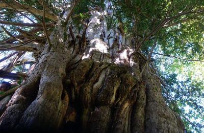 Artvin'de koruma altına alınan 1200 yıllık porsuk ağacı ihtişamıyla göz dolduruyor