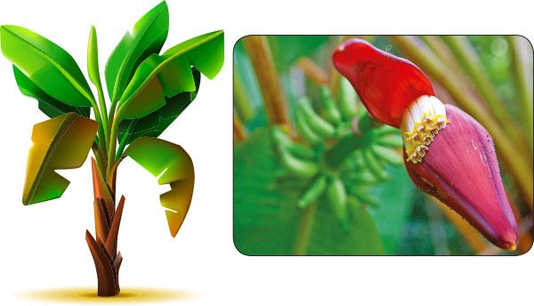 Image result for வாழைக்கிழங்கு