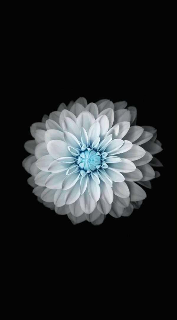 Flower black and white   wallpaper.sc iPhone6sPlus