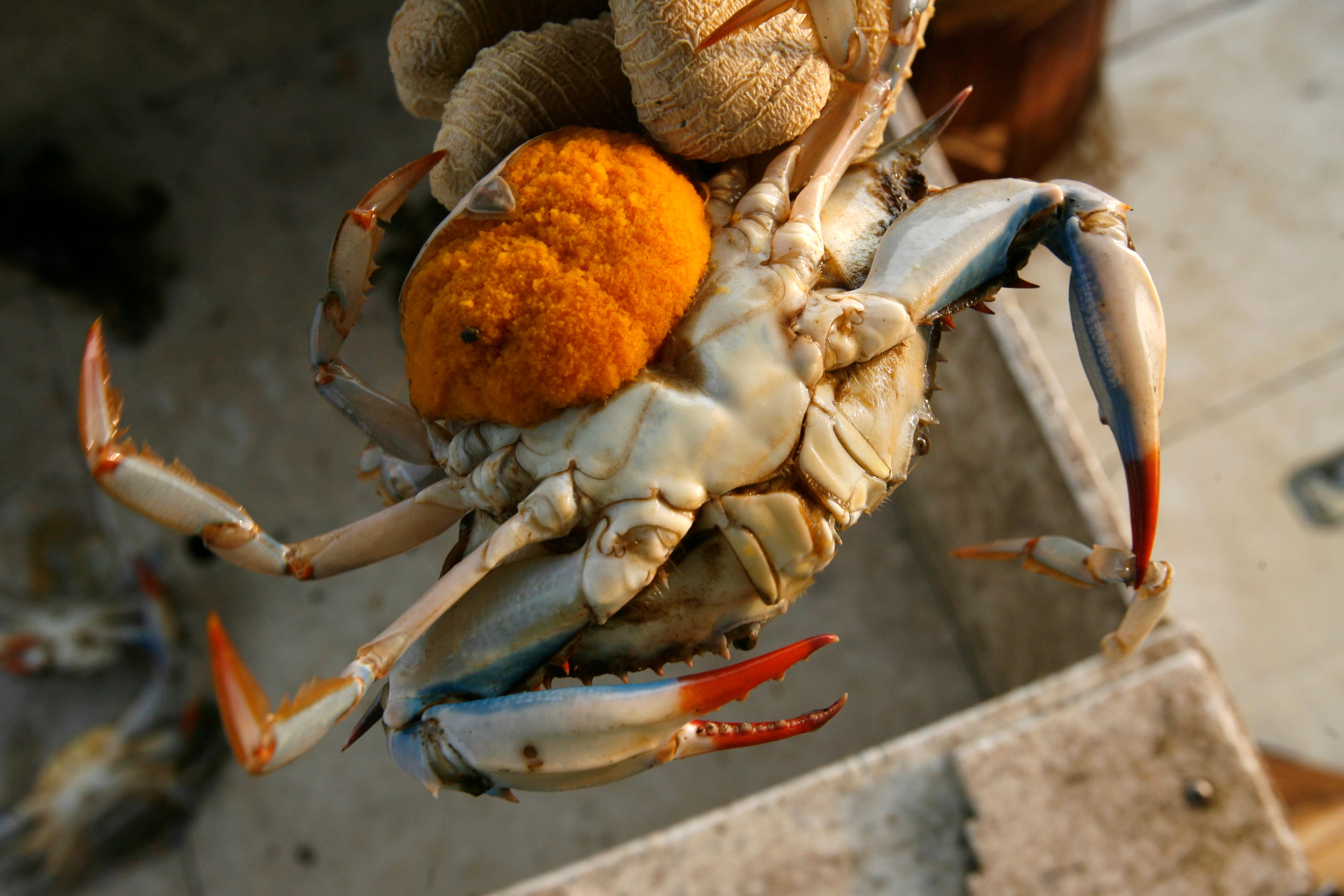 To Save Their Depleted Species Female Blue Crabs Go The