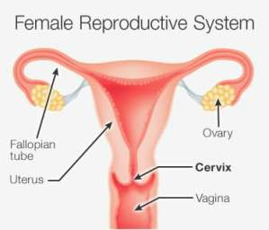 Image result for cervix