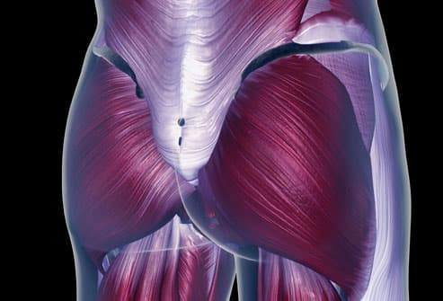 Diagram of the Pelvis Muscles