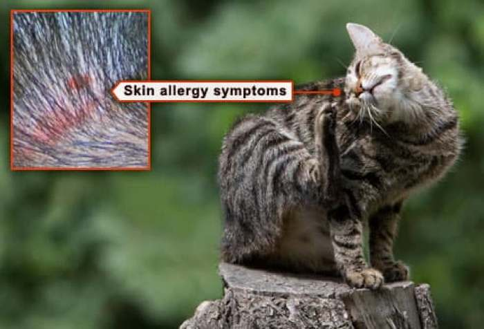 young cat scratching flea allergy track marks