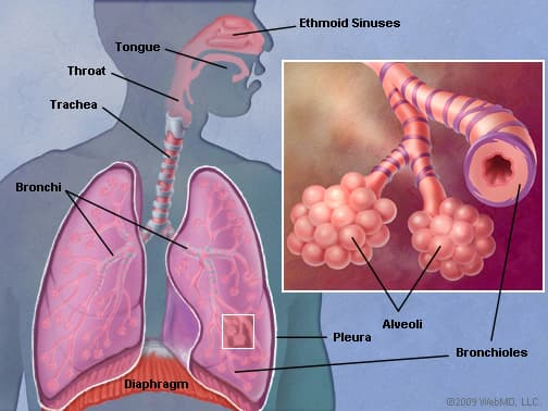 The Lungs (Human Anatomy): Picture, Function, Definition ...