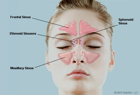 ... openings to the nose allow the flow of air and mucous into the nose