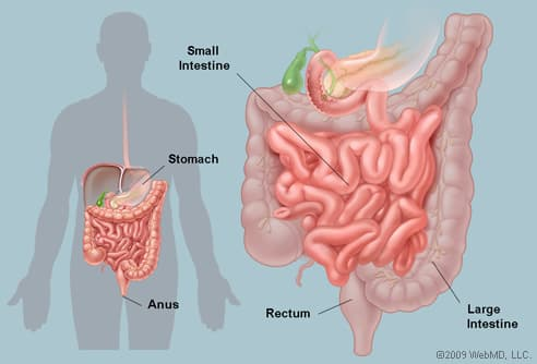 Illustration of Human Intestines
