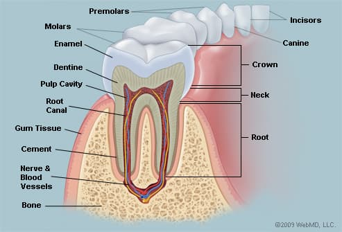 The Teeth (Human Anatomy): Diagram, Names, Number, and