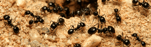 Ants control Abbotsford