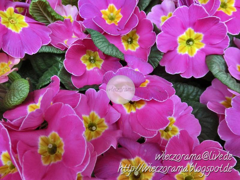 Das Foto zeigt Primeln in den Farben Pink und Gelb