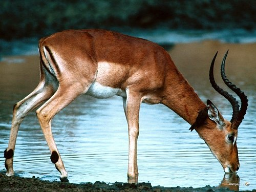 Image result for deer by the river