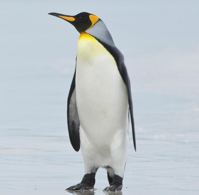 A million penguins cavort on the Falkland Islands - there is a need for communication