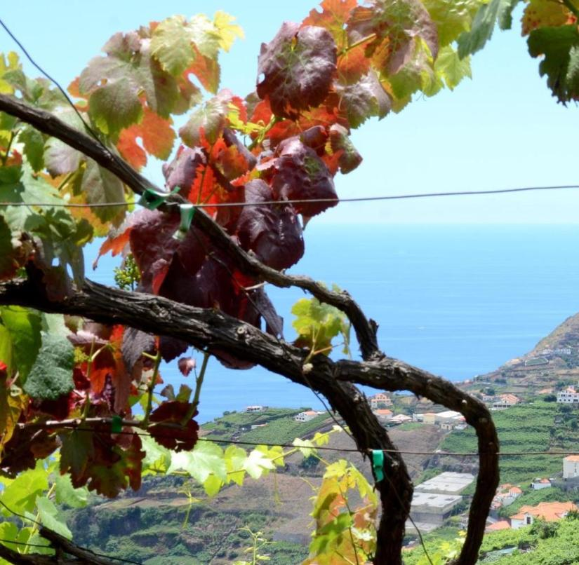 Wine with a sea view: In Madeira, vines only thrive near the coast, here in the south near the town of Estreito de Camara de Lobos