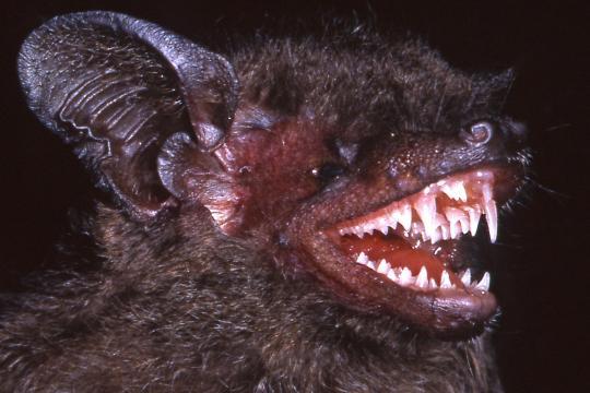 <br /><br /> Fledermäuse erinnern freilich ohnehin an Vampire. Hypsugo dolichodon weist auch noch furchteinflößende Zähne auf.<br /><br />