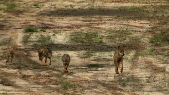 "N24-Dokumentation ""Hurra - die Wölfe kommen"""