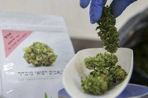 n Israeli woman weighs marijuana plants at the BOL (Breath Of Life) Pharma greenhouse in the country's second-largest medical cannabis plantation, near Kfar Pines in northern Israel, on March 9, 2016. The recreational use of cannabis is illegal in the Jewish state, but for the past 10 years its therapeutic use has not only been permitted but also encouraged