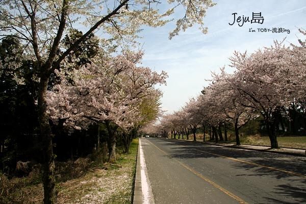 濟州島JeJu。讓我抓一把櫻花雨,送你~