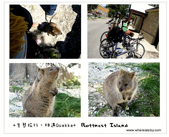 澳洲打工。單車遊羅特尼斯島和小袋鼠Quokka相遇~ 西澳Rottnest Island