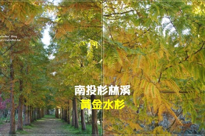 南投竹山∥ 杉林溪黃金水杉變色的繽紛燦爛,黃綠交錯的11月限定美景