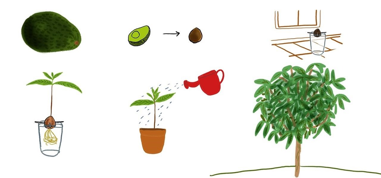 How To Grow An Avocado Tree At Home The Secret Yumiverse Wonderhowto