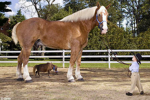 Thumbelina Dwarf Miniature Horse  Worlds Smallest
