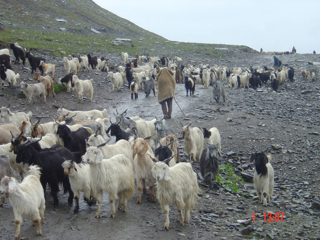Goats participate in a peaceful protest against Inzamam Ul-Haq