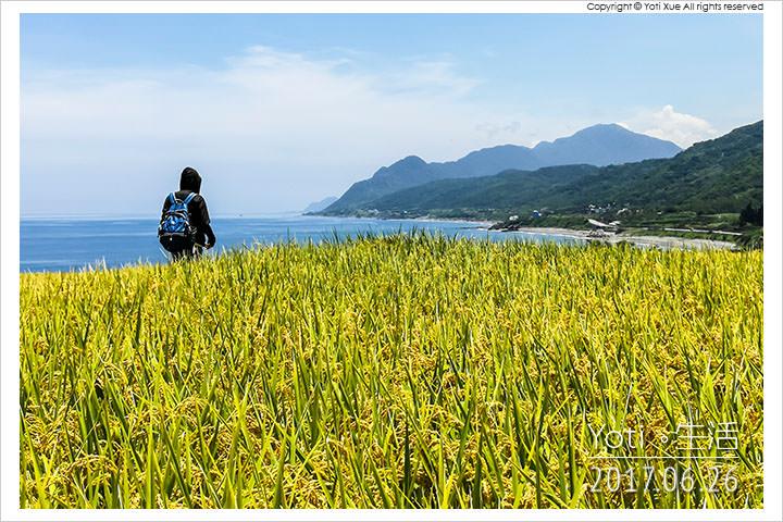 [花蓮豐濱] 新社梯田   太平洋旁的海稻田, 東海岸上的黃金稻浪