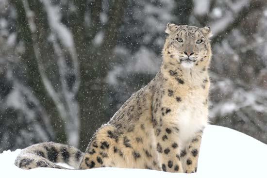 نمر الثلج