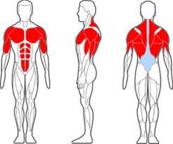 اجزاء الجسم العلوية
