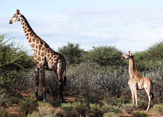 Two dwarf giraffes, Uganda and Namibia (1)