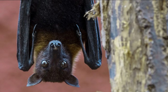 The bat is the first suspect in the Nipah virus