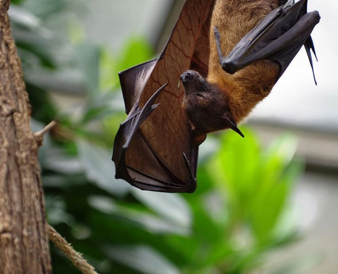 The bat is the cause of transmission of viruses to humans