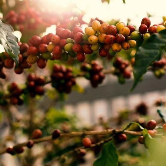وصفات طبيعية من القهوة للعناية بالشعر  (4)