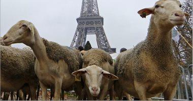 مزارعون فرنسيون يتظاهرون بـ3000 خروف للمطالبة بإجراءات ضد الذئاب