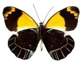 Yellow and Black Butterfly Design 2 Vinyl Decal - WilsonGraphics