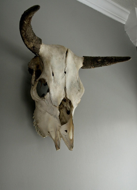 Vintage Bull Skull With Horns Amp Teeth