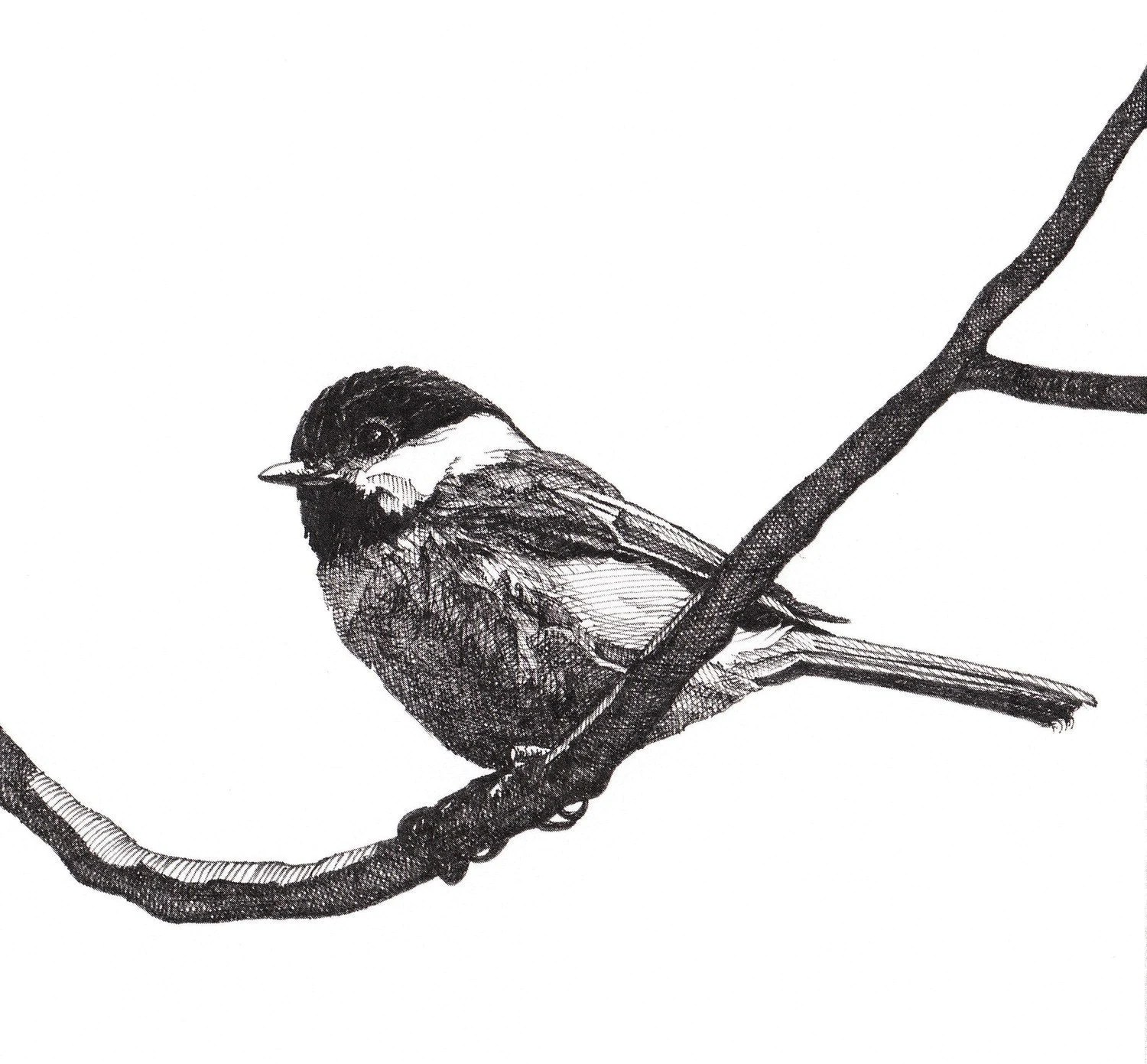 Pen And Ink Drawing Reproduction Black Capped Chickadee Print