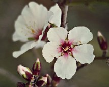White and Pink Almond Blossoms - Spring Decor - Made in Israel - Flower Photography