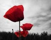 Poppy Photography Red Grey Remembrance 10x8 Print Flowers Poppies... - VictoriaEnglishCharm