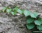 Green Ivy Growing on Granite
