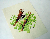 Vintage Wood Thrush Bird Print - munnypenney