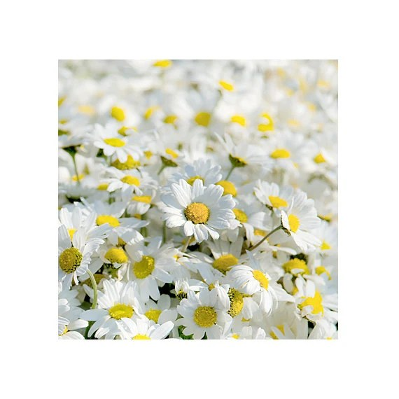 daisy wall art - photography, nature flower photography, fine  photography art Home Decor  Fine Art archival print  color spring 8''x 8'' - gonulk